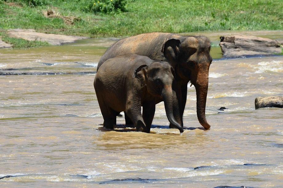 写真家 阿部 秀之の100-400mmとSP 24-70mmで撮る、スリランカ、ピンナワラの象の孤児園